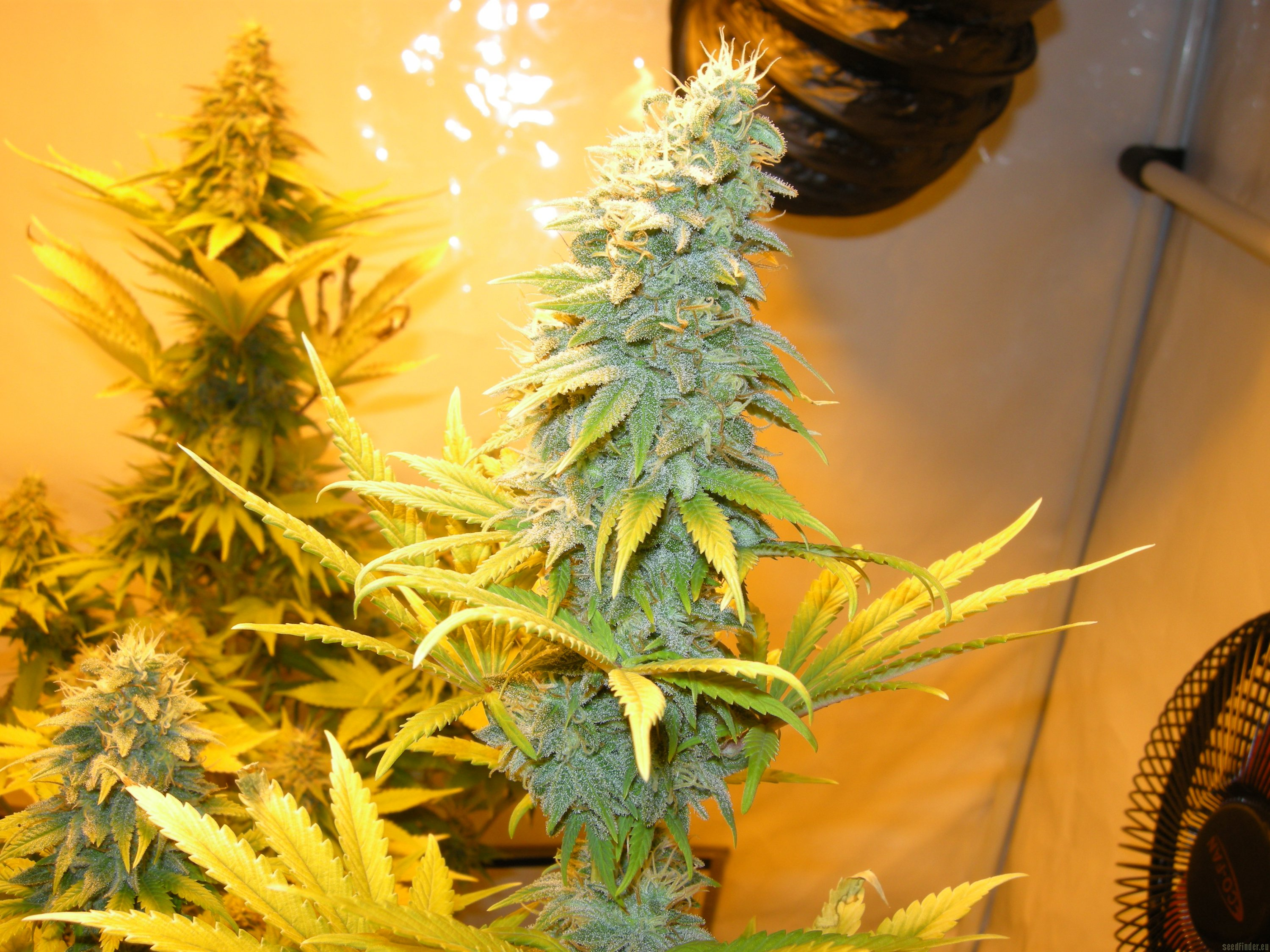 Northern Light Blue Strain Delicious Seeds Cannapedia