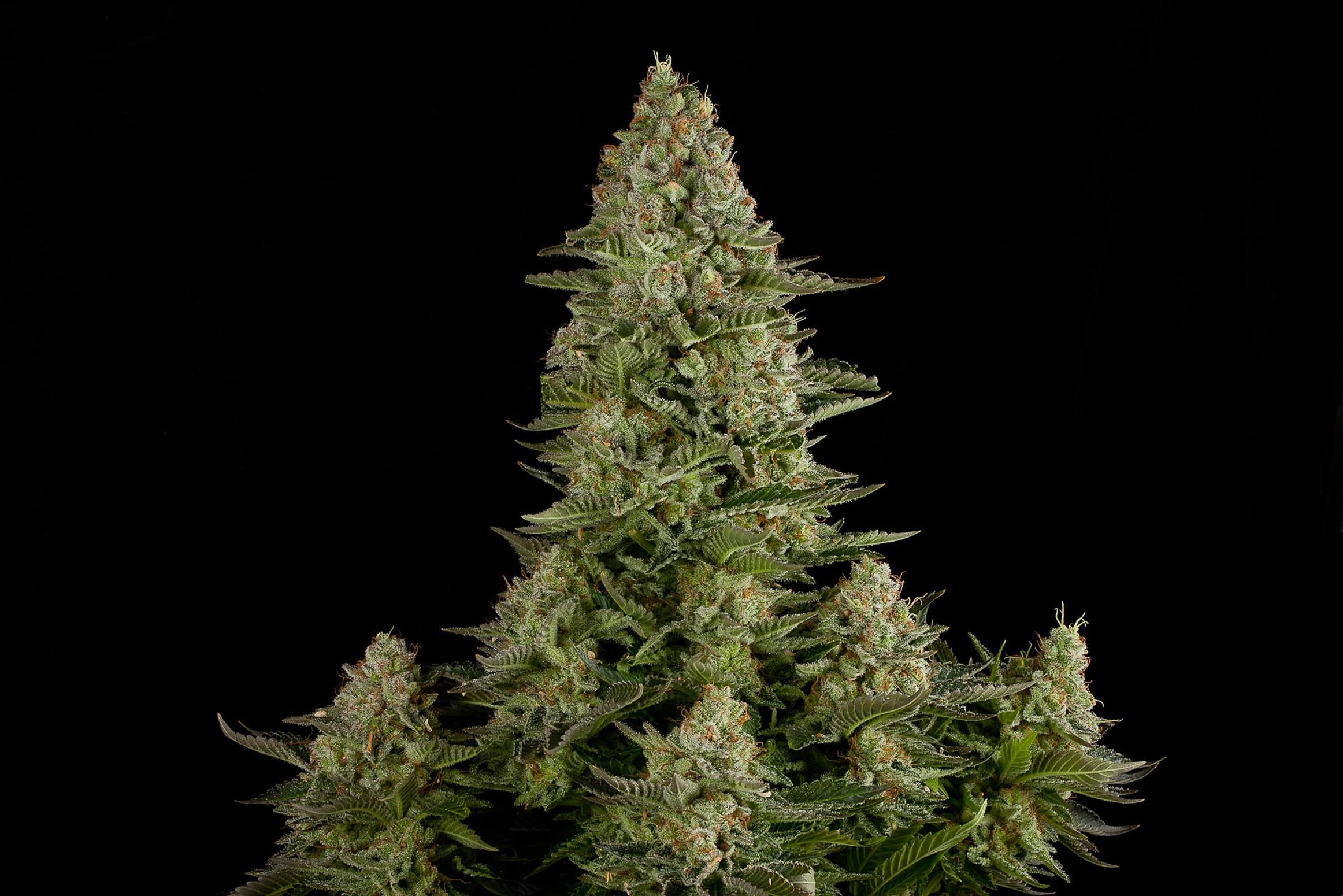 White widow plant height