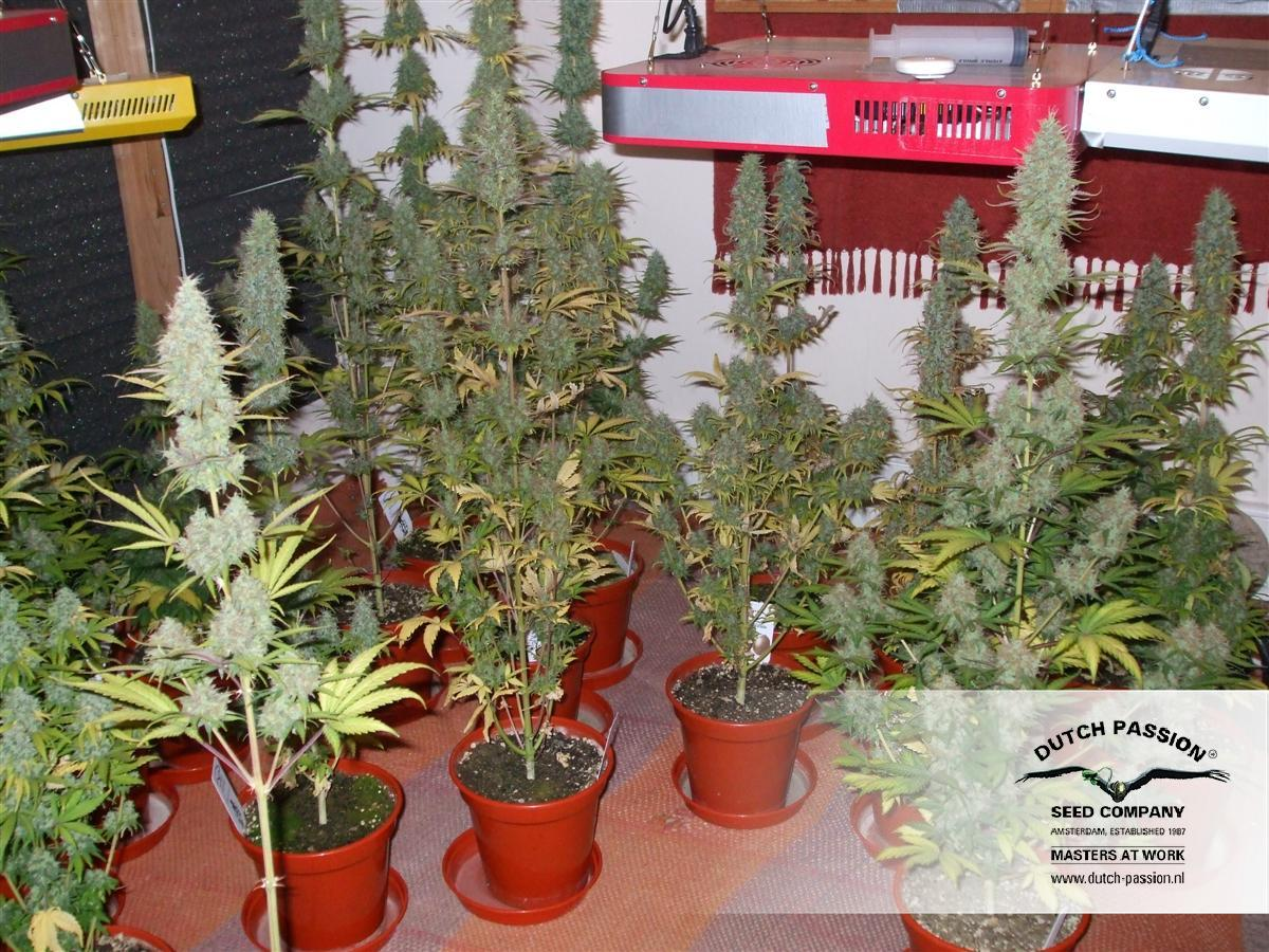 automobile power plants Flowering: auto-flowering kiwiseeds - auto power plant af is an auto flower type that flowers immediately after germination height: 50 - 100 cm kiwiseeds - auto power plant af grows into about 50 - 100 cm plants.