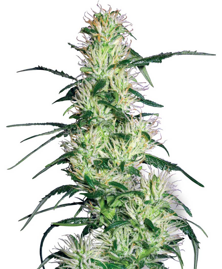 Purple Haze Feminised - Strain - White Label