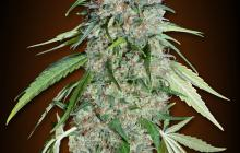 Chocolate Skunk CBD by 00 Seeds