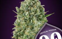Critical Poison by 00 Seeds