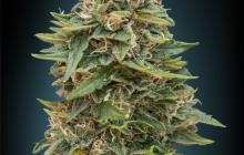 Auto Skunk 47 by Advanced Seeds