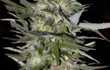 Jack Plant by Advanced Seeds