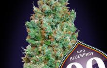 Auto Blueberry by 00 Seeds