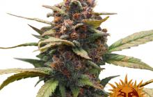 Ayahuasca Purple™ by Barney´s Farm