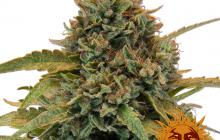 Bad Azz Kush™ by Barney´s Farm