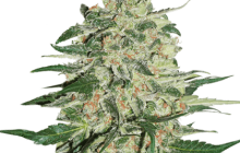 Big Bud by Seed Stockers