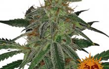 Blue Mammoth Auto™ by Barney´s Farm