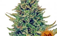 CBD Blue Shark™ by Barney´s Farm
