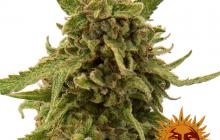 CBD Critical Cure™ by Barney´s Farm