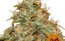 CBD Lemon Potion Auto™ by Barney´s Farm