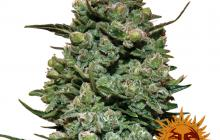 Cookies Kush™ by Barney´s Farm