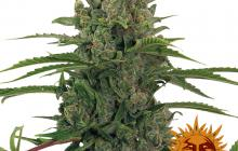Critical Kush Auto™ by Barney´s Farm