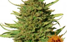 Critical Kush™ by Barney´s Farm