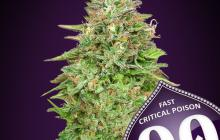 Critical Poison Fast Version by 00 Seeds