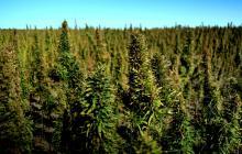 Kanadští vědci zjistili ideální poměr složek organického hnojiva pro pěstování konopí