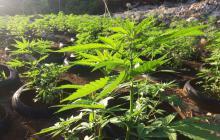 Vychází únorové číslo magazínu Roots - o konopí a dalších léčivých bylinách