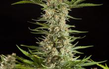 Fraggle Skunk Auto by Philosopher Seeds