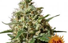 Peppermint Kush™ by Barney´s Farm