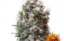 Phatt Fruity™ by Barney´s Farm