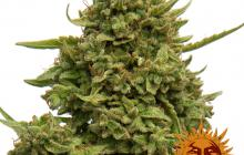 Pineapple x Skunk #1 x Cheese by Barney´s Farm