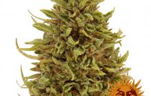 Pineapple Express Auto™ by Barney´s Farm