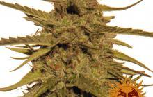 Pineapple Haze Regular™ by Barney´s Farm
