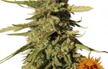 Red Cherry Berry™ by Barney´s Farm