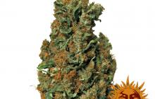 Red Diesel™ by Barney´s Farm