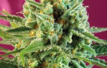 S.A.D. Sweet Afgani Delicious CBD® by Sweet Seeds