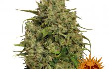 Sweet Tooth #1™ by Barney´s Farm