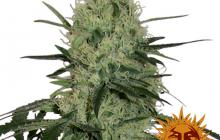 Tangerine Dream Auto™ by Barney´s Farm
