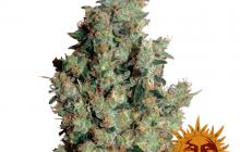 Tangerine Dream™ by Barney´s Farm