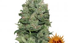 Top Dawg™ by Barney´s Farm