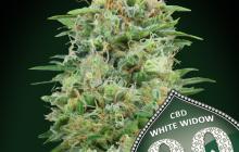 White Widow CBD by 00 Seeds