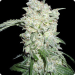 Afghani Kush Special od seedbanky World of Seeds v encyklopedii konopných odrůd Cannapedia