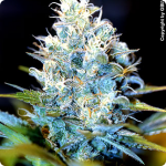 Cannapedia: marihuana strain AK-47