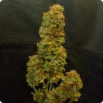 Live your Jamaican Dream! Exclusive marijuana strain by Eva Seeds and many more on Cannapedia.cz