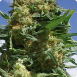 weed strain Black widow by seedbank Positronic seeds