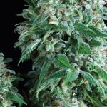 Marijuana strain Anubis by Pyramid Seeds on Cannapedia.cz