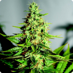 Cannapedia: Acapulco Gold by Barney's Farm great tasty strain of weed
