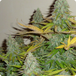 Afghan Kush x White Widow cannabis strain by World of Seeds and much more on Cannapedia.cz