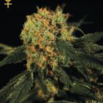 Konopná odrůda AMS od Green House Seeds na konopné encyklopedii Cannapedia