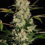 Cannapedia.cz: Jack Herer od Green House Seeds