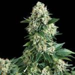 Konopná odrůda Afghan Express od Positronic Seeds v konopné databázi Cannapedia