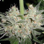 Cannapedia: palice Black Widow od seedbanky Positronic Seeds