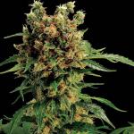 Strong buds of California Hash Bud na Cannapedia