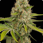 Cannapedia: weed strain OG Kush by Dinafem seedbank