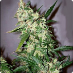 Bangi Haze by ACE Seeds and much more marijuana strains on Cannapedia.cz